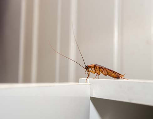 Close up of a cockroach on white cupboard