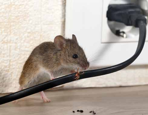 mouse chewing on electrical wiring