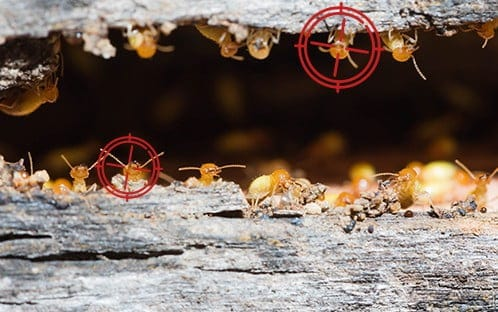 termite eradication brisbane